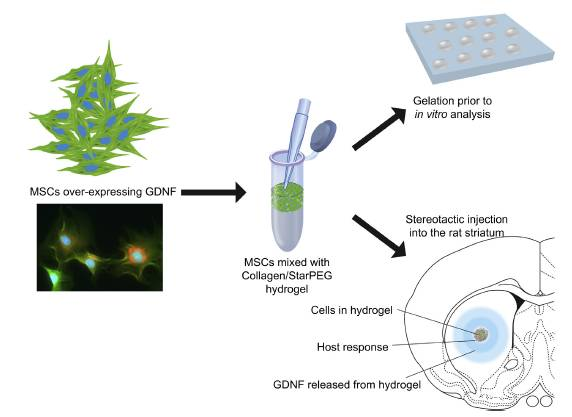 Ben Newland Research - Collagen hydrogel for cell transplantation